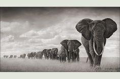 groupe d'éléphants dans les herbes sèches - Nick Brandt