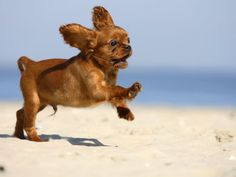 Google Image Result for http://cache2.artprintimages.com/p/LRG/37/3783/CU8IF00Z/art-print/petra-wegner-cavalier-king-charles-spaniel-puppy-14-weeks-ruby-running-on-beach-jumping-ears-flapping.jpg