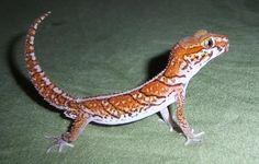 Paroedura pictus - Panther Gecko