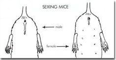 geslacht bepalen bij muis