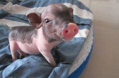 Share your cute animal pictures with us? Cute Baby Animals, Animals And Pets, Funny Animals, Baby Piglets, Teacup Pigs, Cute Piggies, Pet Pigs, Little Pigs, My Animal