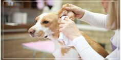 How to Clean Your Dog's Ear. #dogearclean #earcleaningtips #doghealth #dogcare
