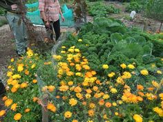 """Though they aren't protected in netting, there isn't a single sign of cabbage white (butterfly/caterpillar) damage. This is due to growing a """"sacrificial crop"""" of Orach, and a deterrent plant, Calendula. These plants surround the leafy brassicas and protect them from slug damage. This is organic gardening at its best!"""