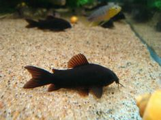Corydoras Black Venezuela. They were developed in Germany but since then have been extensively bred in the Czech Republic, there is a post by Ian Fuller on this thread explaining it. We in the Uk have the same problem with them being misnamed as black Venezuelans.