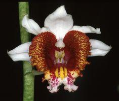 Orchid: Gastrorchis tuberculosa - Synonym - Phaius tuberculosus