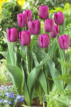 Look at this Purple Prince Tulip Bloom Pad by Cottage Farms Direct Flower Landscape, Daffodils, Iphone Wallpaper, Prince, Invitations, Purple, Rose, Farms, Plants