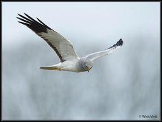 Gepind vanaf vroegevogels.vara.nl - Blauwe Kiekendief
