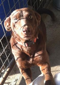 sierra is an adoptable Chocolate Labrador Retriever Dog in Chesterfield, SC Hi I am Sierra I am a lab mix I will be small about 20-30lbs. I am a very sweet playful girl.  ... ...Read more about me on @Petfinder.com.com