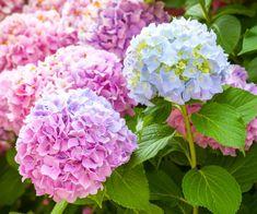 9 Fakta, Arti dan Makna Bunga Hydrangea (Kembang Bokor) - http://bibitbunga.com/blog/fakta-arti-dan-makna-bunga-hydrangea-kembang-bokor/