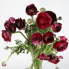Ranunculus Purple, Wholesale Bulk Fresh Cut Flowers (100 stems)