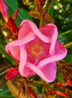 FLOWERS:  Oleander - Nerium oleander