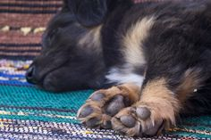 Exhausted little black puppy sleeping - Little black puppy exhausted after whole day running and playing Black Puppy, Sleeping Puppies, Photography Portfolio, Exhausted, Running, Dogs, Animals, Animales, Animaux