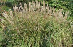 Bild von Miscanthus  'Purpurascens' – Purpurnes China-Schilf, Stielblütengras, Eulalia-Gras