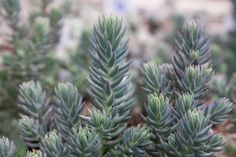 Sedum rupestre 'Blue Spruce' | Flickr - Photo Sharing!