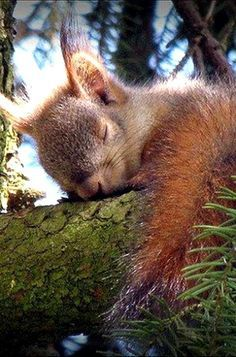 Sleeping Red Squirrel .....