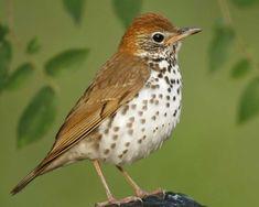 thrush bird - Google Search