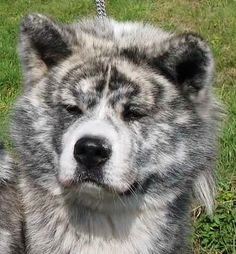 The Silver Brindle Akita Inu is an ancient Japanese dog breed