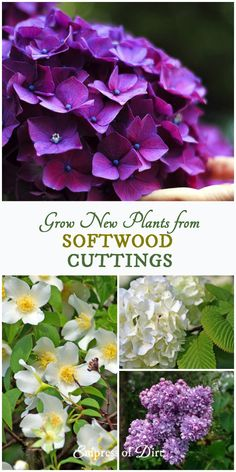 This shows you how to take softwood cuttings from garden shrubs and herbaceous perennials and root them for more plants.