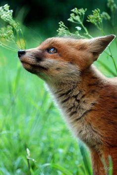 Cute Fox with a sly-as-a-fox expression ; Animals And Pets, Baby Animals, Cute Animals, Wild Animals, Mundo Animal, My Animal, Beautiful Creatures, Animals Beautiful, Fantastic Fox