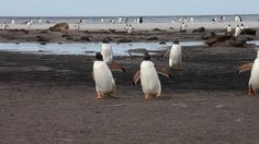 March of the Penguins. Every night thousands of Gentoo Penguins return to their colony on Sealion Island