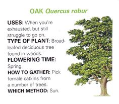 Oak uses and method