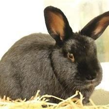 Sooty is looking for a home with his gorgeous girlfriend Peggy. They are lovely rabbits once they get to know you and sneak up behind you to see what you are doing. They are looking for their new home to have a large hutch or shed with a 10ft by 5ft run attached to it. If you think you can offer this gorgeous pair a loving home please contact the Godmanchester Shelter.
