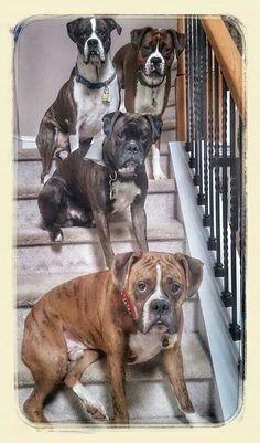 Gorgeous boxer family!