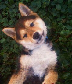 My Shiba Inu Puppy Bambino !