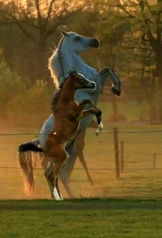 A Arabian adult Mare Rearing up and her baby is rearing up with her .