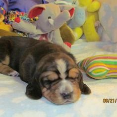 Our future Basset Hound puppy!  Shhhh...don't tell my girls!  It's a surprise!