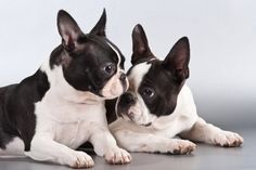 Boston Terrier - 24 Pictures