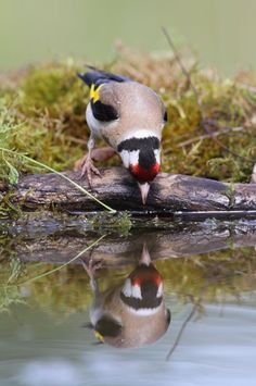 Visit our new-look Galleries to view and search images of thousands of bird species, and join our worldwide community of bird photographers Beautiful Birds, Animals Beautiful, Bird Gif, Finches, Australian Birds, Goldfinch, Birdwatching, Exotic Birds, Art Themes