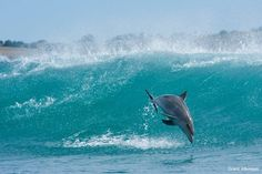 A bottlenose dolphin leaps clear of a breaking wave on the Wild Coast, Transkei on the eastern coast of South Africa. These dolphins frequent inshore waters and are completely at home in the big swells found along this coastline.by Grant Atkinson