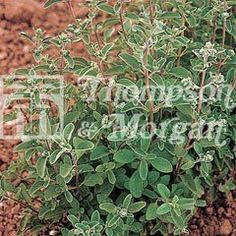 Herb Seeds Oregano on Sale | Fast Delivery | Greenfingers.com