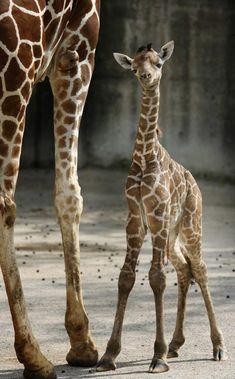 baby giraffe:)
