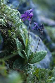 The GLORIA species list - primula growing wild
