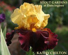 Iris KATHY CHILTON | Stout Gardens at Dancingtree