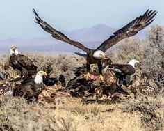 """Bald Eagles. """"Breakfast on the go"""" will be among the photos on our 2015 calendar available in December 2014 for a $10 donation please visit us on Face Book at https://www.facebook.com/groups/85218228664/  for updates"""