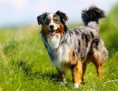 Doe de online puppytest en kom erachter welk hondenras bij jou past! Lees meer over hondenrassen zoals de Australian Shepherd op puppytest.nl
