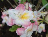 Laubabwerfende Azalee 'Satomi' - Rhododendron luteum 'Satomi' - Baumschule Horstmann