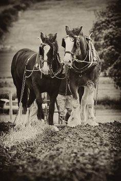 Nothing more beautiful than seeing heavy horses working! ~ by Lisa puckers52