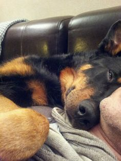 Our Beauceron Robusto loves to cuddle