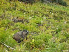 Hoary Marmot in Jasper | Endless Wildlife