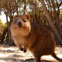 Quokkas are Australian marsupials about the size of a cat. Apparently, they are friendly and love having their picture taken. And, why not - they're adorable.