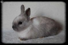 Bébé lapin nain de couleur Animaux Haute-Savoie - leboncoin.fr