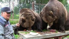Attrayant Dinner Time: Two Bears Eat On A Table In Front Of Finnish U0027bear Manu0027 Sulo  Karjalainen