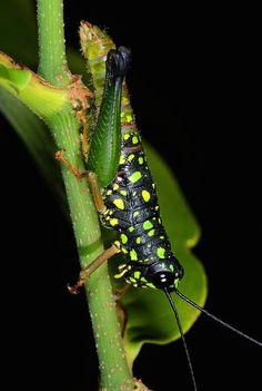 ˚Leaf katydid (Typophyllum lunatum) - Colombian Amazon  by Arthur Anker @ Flickr
