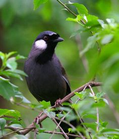 Birds in Thailand: Black throated Laughingthrush