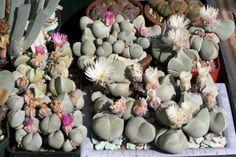 Gibbaeum Album 10 Seeds Very Rare Succulent Cactus Plant Samen Korn Grain Semi | eBay