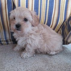 Charity is a Female Shihpoo puppy for sale at PuppySpot. Call us today to learn more (reference 624996 when you call). Puppies For Sale, Cute Puppies, Puppy Facts, Puppy Finder, Shih Poo, Family Fun Day, Puppy Mills, How To Raise Money, Fundraising
